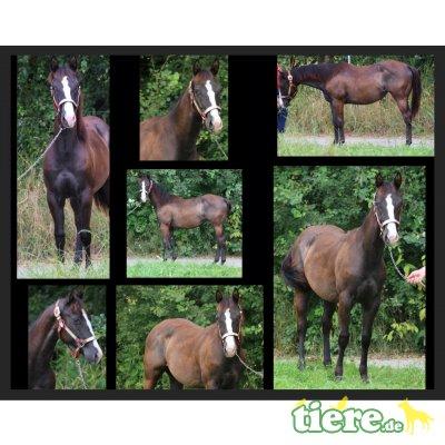 Dears Masies Candy, Quarter Horse - Stute