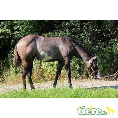 Dun it Masies Queeni, Quarter Horse - Stute