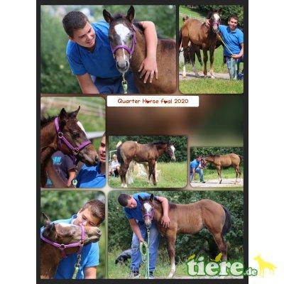 Dun it Mr. Knopf, Quarter Horse - Hengst