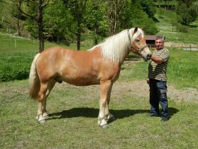 Kossy, Haflinger - Wallach 1