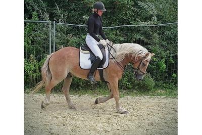 Rosa, Haflinger - Wallach 1