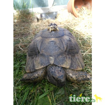 Breitrandschildkröten - unbekannt