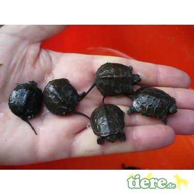 Europäische Sumpfschildkröte - unbekannt