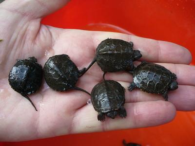 Europäische Sumpfschildkröte - unbekannt 1