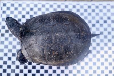 Europäische Sumpfschildkröte - weiblich