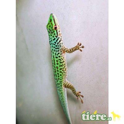 Gefleckter Taggecko / Phelsuma guttata