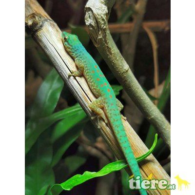 Gefleckter Taggecko / Phelsuma guttata Jungtier - unbekannt