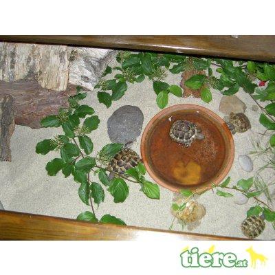 Griechische Landschildkröte - unbekannt