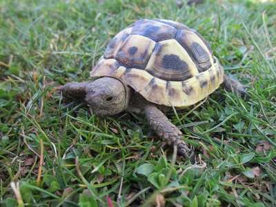Griechische Landschildkröte Jungtier - unbekannt 1