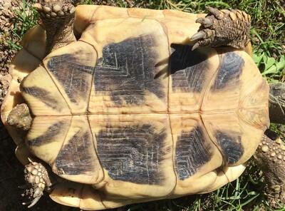 Griechische Landschildkröte Jungtier - weiblich 1