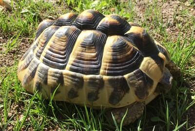 Griechische Landschildkröte Jungtier - weiblich