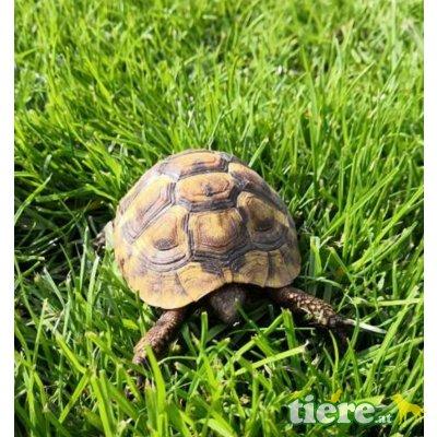 Griechische Landschildkröte - männlich 1