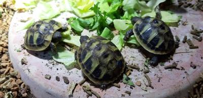 Griechische Landschildkröte - unbekannt 1
