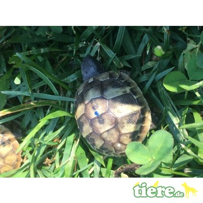 Griechische Landschildkröte - weiblich