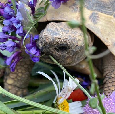 Griechische Landschildkröte - weiblich 1