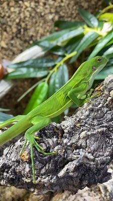 Leguane Jungtier - unbekannt