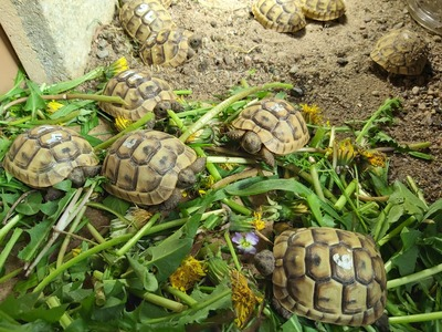Maurische Landschildkröte Jungtier - unbekannt