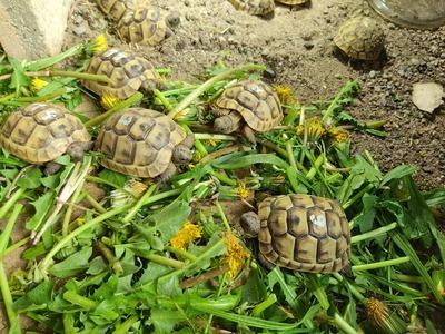 Maurische Landschildkröte Jungtier - unbekannt 1