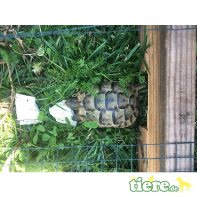 Maurische Landschildkröte - weiblich
