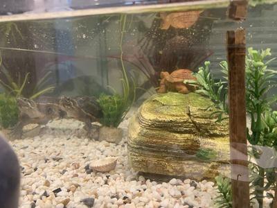 Moschusschildkröten - männlich