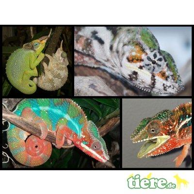 Pantherchamäleon und andere Arten
