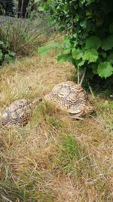 Pantherschildkröten - weiblich 1