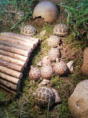 Schildkröten Jungtier - unbekannt 1