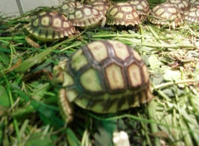 Schildkröten Jungtier - unbekannt