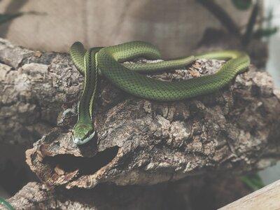 Schlangen - weiblich 1