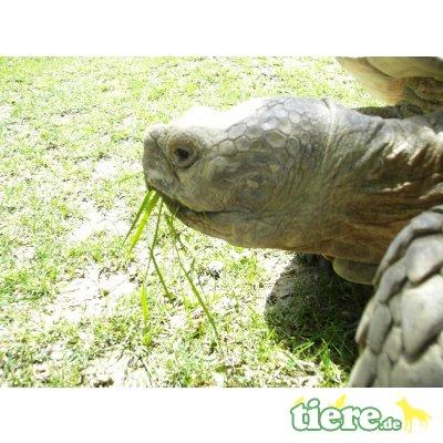 Sporenschildkröten