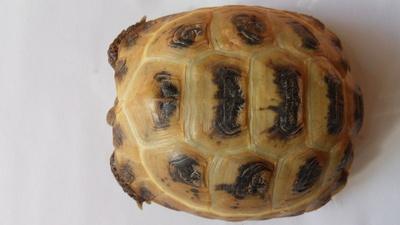 Steppenschildkröte - männlich 1