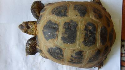 Steppenschildkröte - männlich