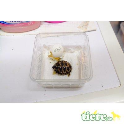 Strahlenschildkröte - unbekannt