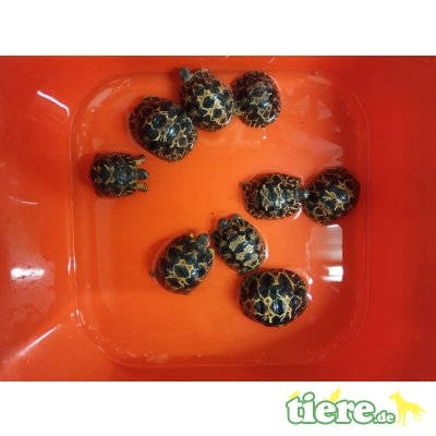 Strahlenschildkröte Jungtier - unbekannt