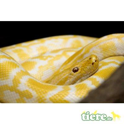 Tigerpython - weiblich