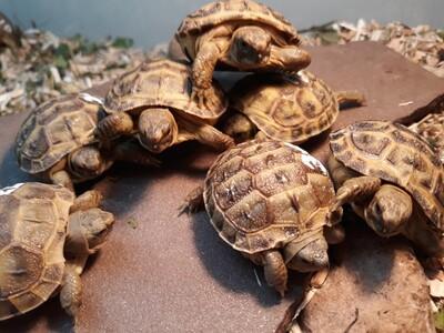 russische Landschildkröten Jungtier - unbekannt 1