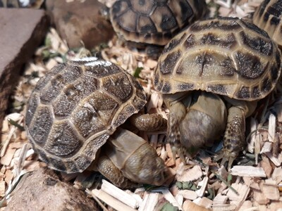 russische Landschildkröten Jungtier - unbekannt
