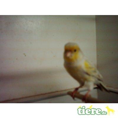 Achat Topas gelb, Farbkanarien - weiblich