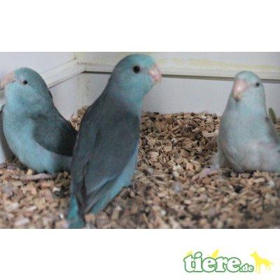 Blaunacken-Sperlingspapagei