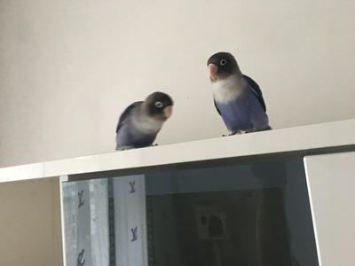 Erdbeerköpfchen Jungtier - unbekannt