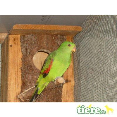 Rotflügelsittich - weiblich 1