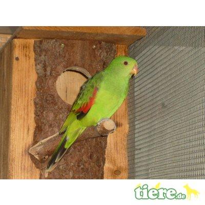 Rotflügelsittich - weiblich