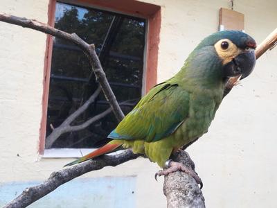 Rotrückenara, Ara Jungtier - weiblich 1