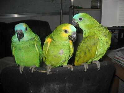 Rufus und Max und John, Blaustirnamazone - männlich