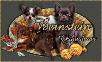 Bernstein Chihuahua